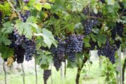 Дегустация вин долины Вальполичелла (фото 2)